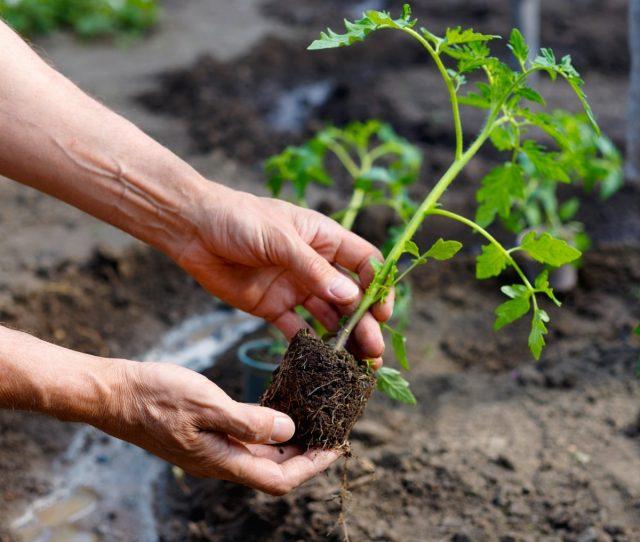 Хорошее освещение – одно из главных условий выращивания крепкой рассады