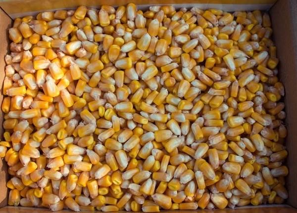 Подготовка кукурузы к посеву