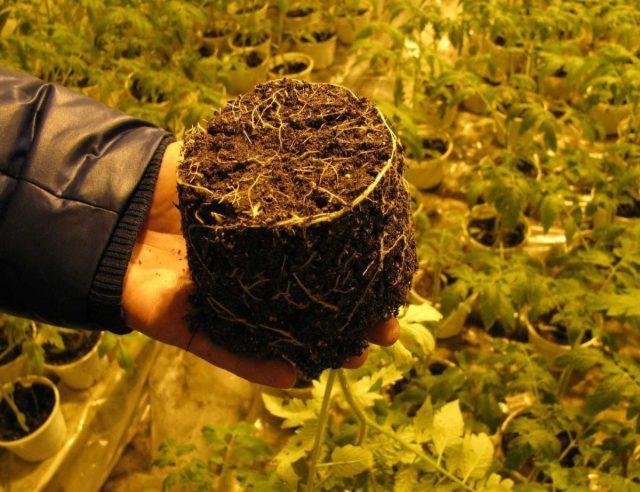 Корневая система рассады томата перед высадкой в грунт