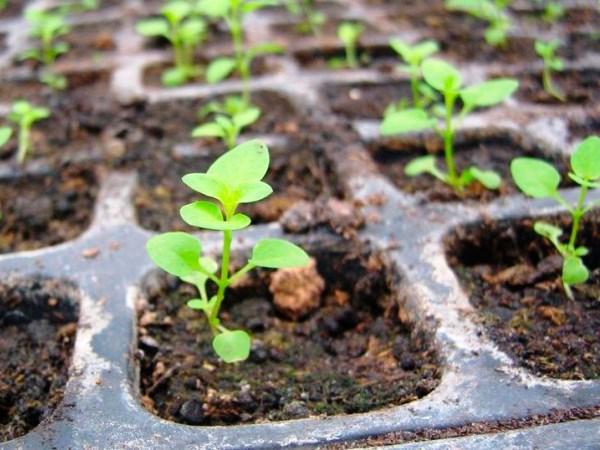 Размножение хризантем семенами