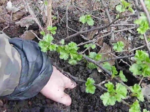 Размножение крыжовника и смородины отводками