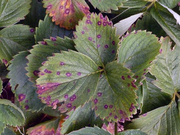 Почему на листьях клубники появляется ржавчина