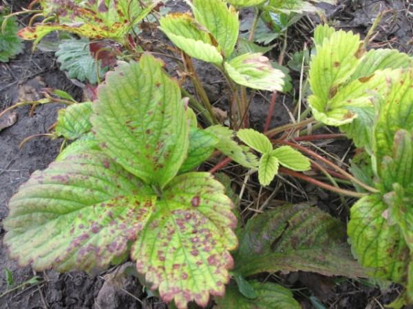 Ржавчина на листьях клубники