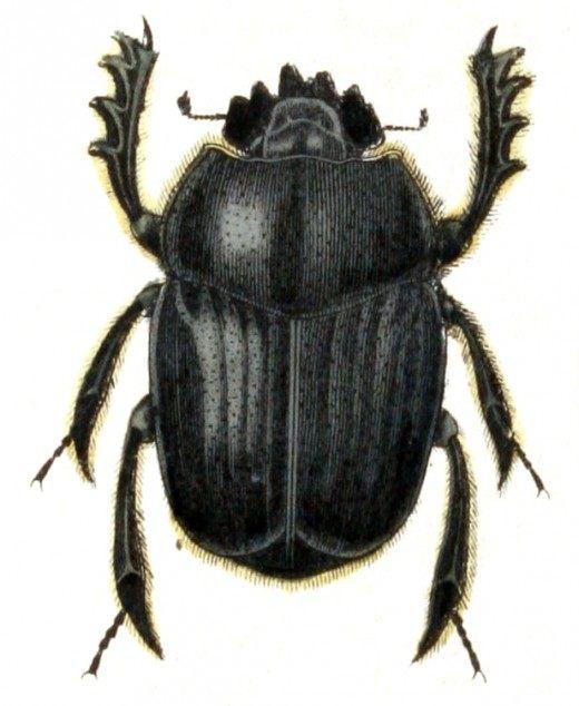 Скарабеи (Scarabaeus)