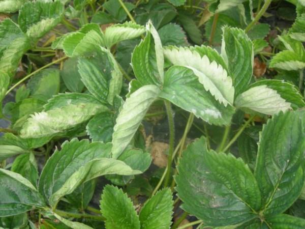 Почему скручиваются листья клубники