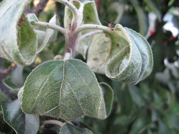 Скручиваются листья яблони