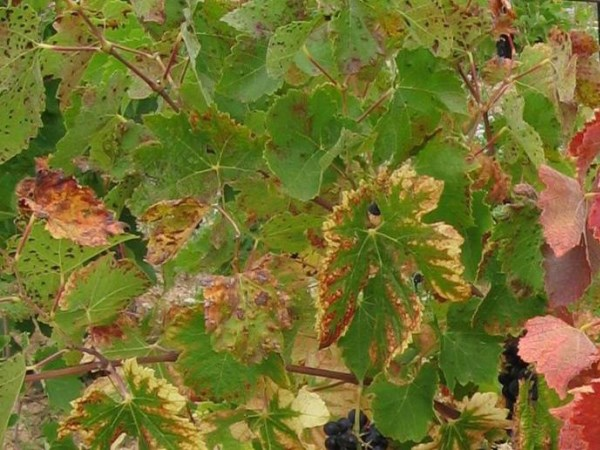 Почему сохнут листья винограда