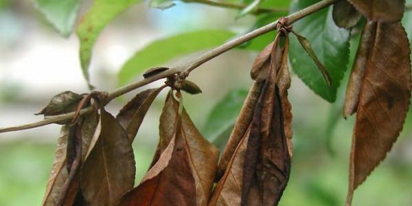 Сохнут листья вишни