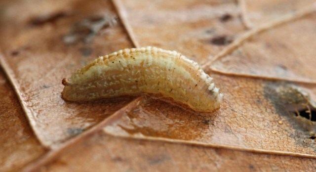 Личинка журчалки (Syrphidae)