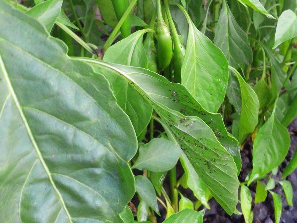 Тля на листьях перца