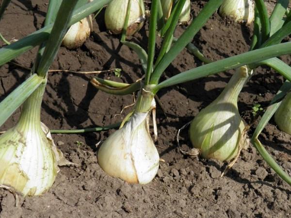 Лук репчатый выращивание