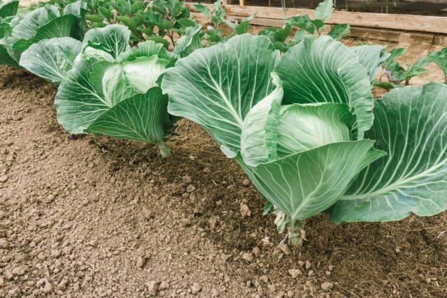 Подкормки капусты должны быть продуманными и своевременными