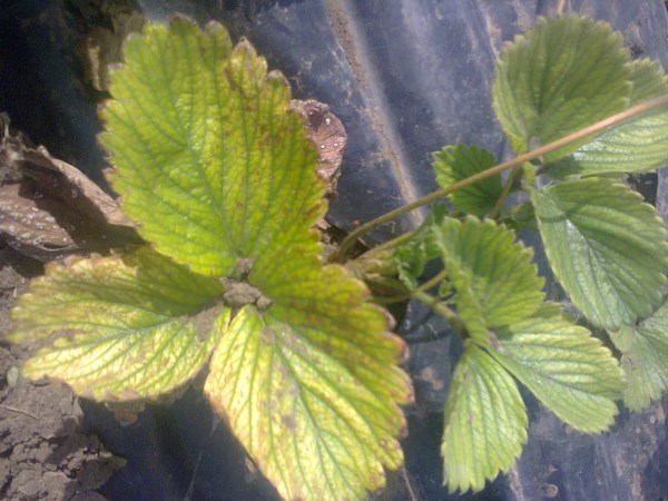 Желтеют листья клубники