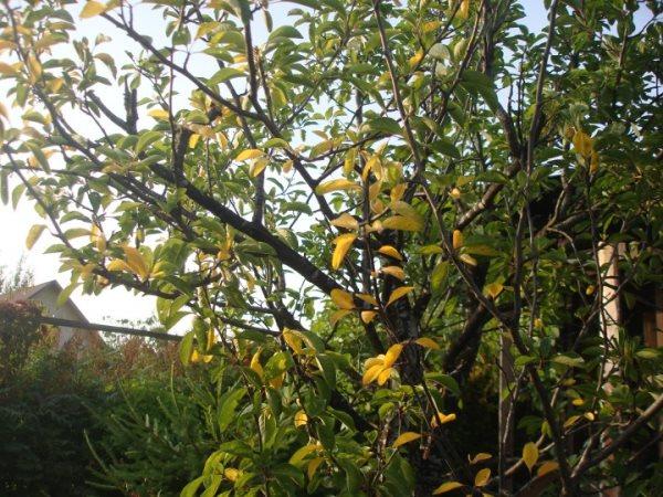 Почему желтеют листья у сливы