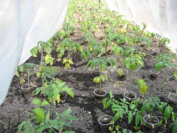 Желтеют листья у рассады помидоров
