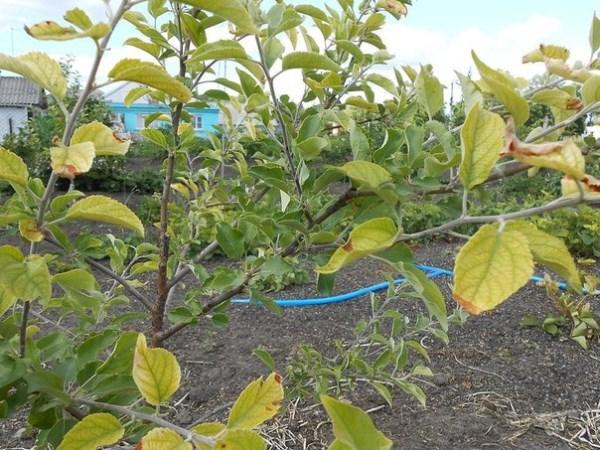Почему желтеют листья на яблоне