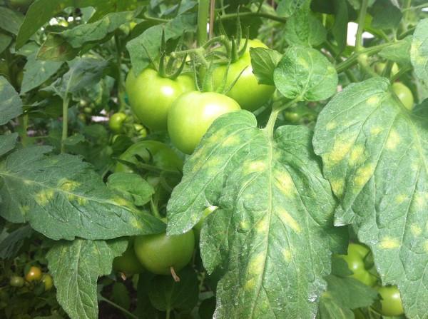 Желтые пятна на листьях помидоров