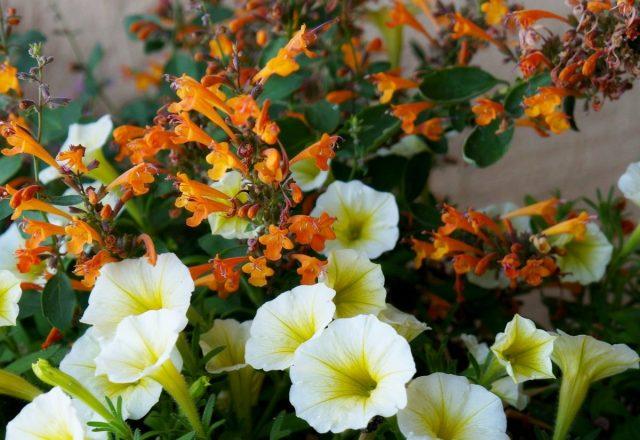 Кустики агастахе «Аризона» вырастают очень компактные и аккуратные
