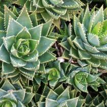 Алоэ надрезнолистное (Aloe perfoliata)
