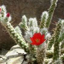 Аустроцилиндропунция покрытая (Austrocylindropuntia vestita)