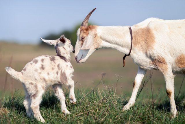 Беременность и роды козы — как ухаживать за козой и козлятами?