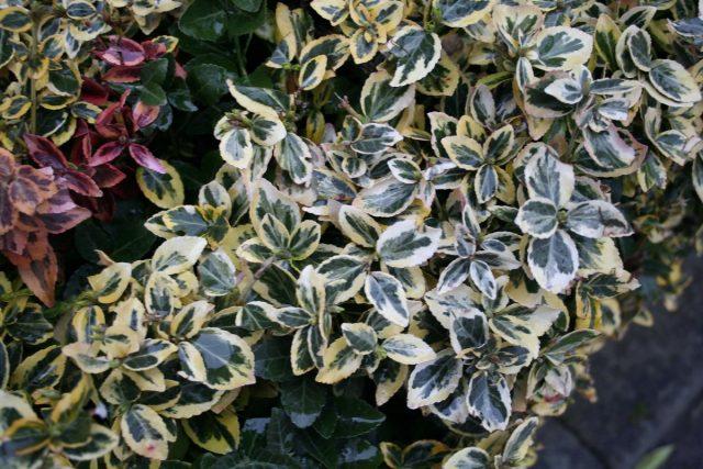 Бересклет Форчуна (Euonymus fortunei)