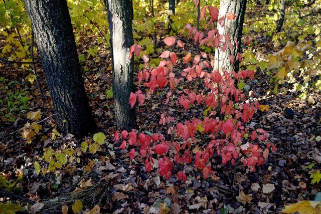 Бересклет бородавчатый сложно не заметить в осеннем лесу