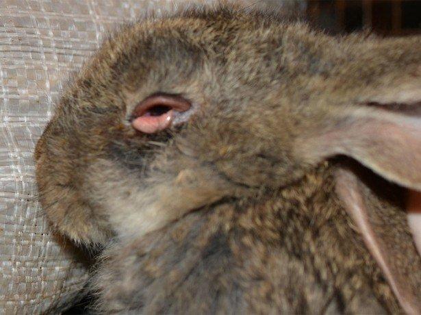 На фото миксоматоз у кролика