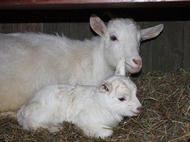 На фото коза с козленком