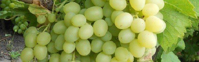 Борьба с осами на винограде — уничтожение вредителей