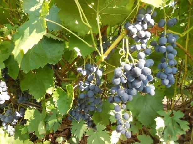Как отпугнуть птиц от виноградника?