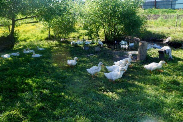 Наши утки имеют достаточно место для выгула, маленький пруд под боком и тень от деревьев и кустарников