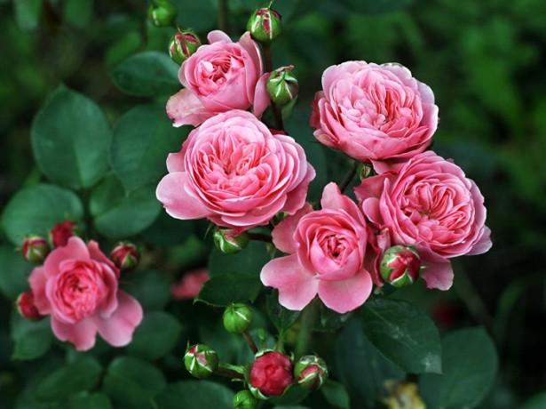 На фото роза флорибунда