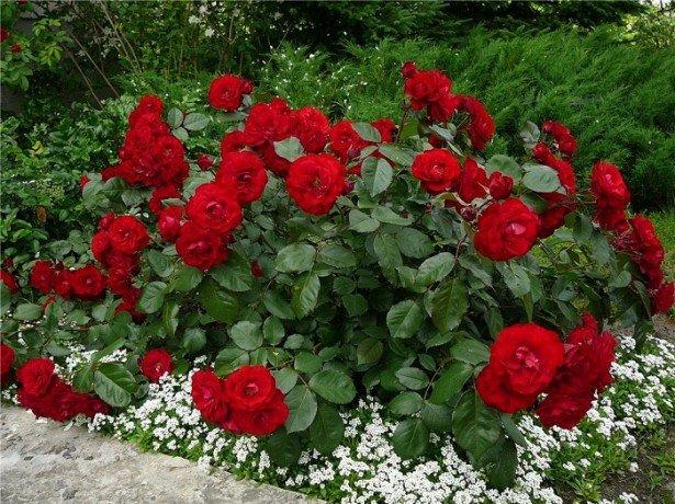 Фотография кустовых роз