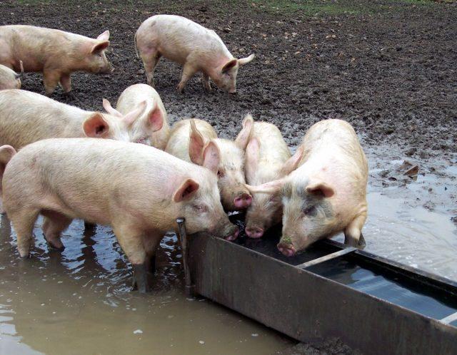 При кормлении сухими кормами доступ к воде у свиней должен быть обязательным, свободным и постоянным