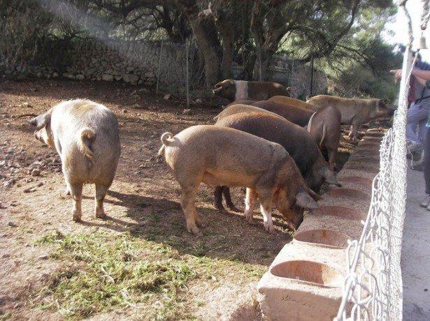 Свиньи кормятся