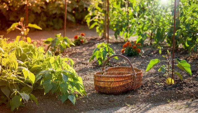 Выращивание на одной грядке культур с разными сроками сбора урожая является еще одним вариантом совместных посадок