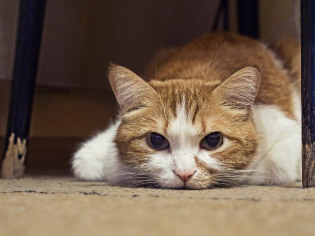 Кошечка утром вдруг не попросила еды и даже не вышла к вам - ей нездоровится