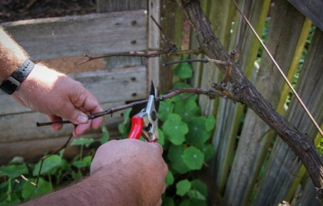 Резать виноград весной можно, но он сильно «плачет», так что в зависимости от ситуации