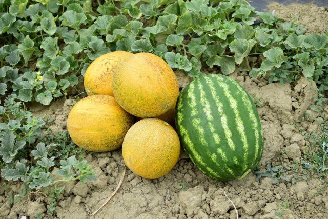 Против совместного выращивания арбузов и дынь нет никаких серьезных противопоказаний