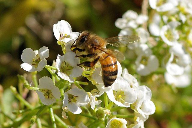В целях привлечения насекомых-опылителей можно высадить по краям бахчи алиссум