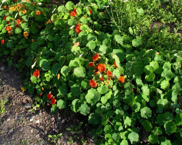 Настурции станут прекрасным выбором для выращивания рядом с дынями и арбузом