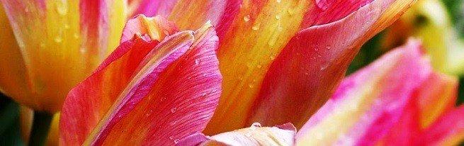 Цветовая палитра тюльпанов – от традиционных красных до загадочных черных тюльпанов
