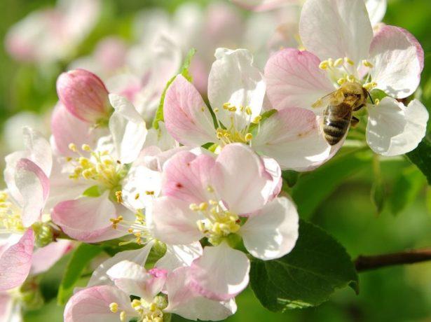 Пчела на цветке яблони
