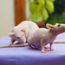 Безволосая крыса