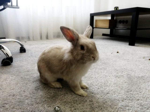 Декоративные кролики должны бегать по дому минимум два часа в день
