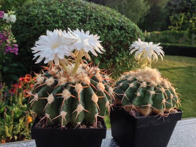 Дискокактус — самый популярный из цветущих кактусов