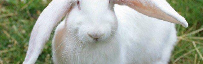 Кролиководство или как избежать ошибок при разведении кроликов
