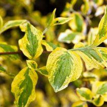 У дёрена 'Aurea Elegantissima' окаймление и разводы на листьях жёлтого цвета