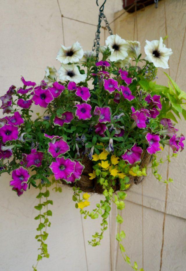 В середине лета композиция преображается благодаря появлению ярко-желтых цветков вербейника «Ауреа»